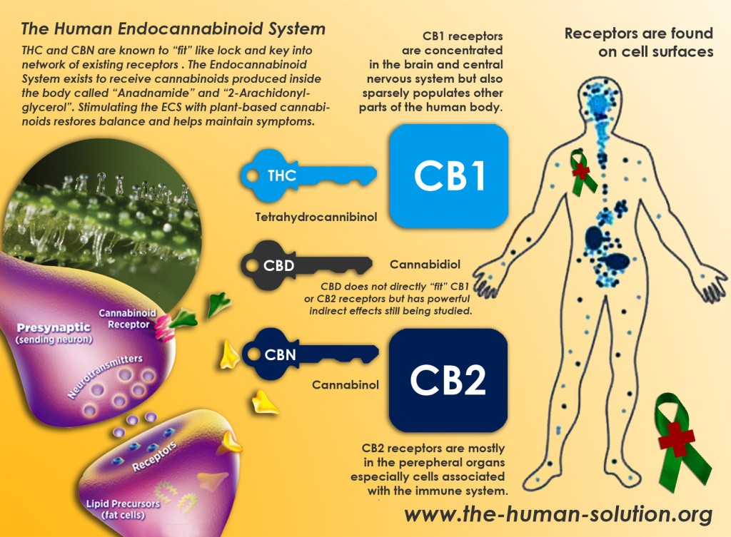 the human endocannabinoid system and receptors - hempioneers