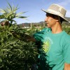 A worker inspects a plant at a medicinal cannabis plantation, part of a project by the Daya Foundation non-governmental organisation, in rural Quinamavida near Talca, Chile, January 18, 2016. REUTERS/Sebastian Martinez